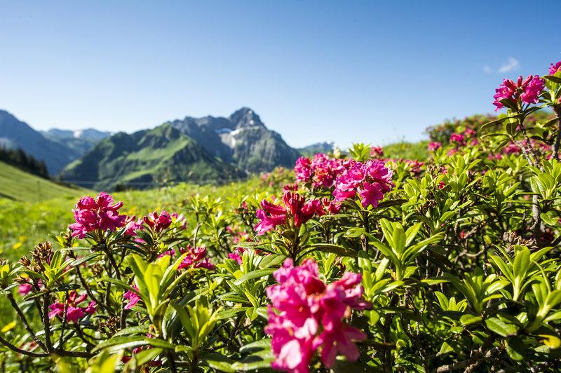 Alpenrosen Wandern Widderstein _Dominik Berchtold (14) (c) Dominik Berchtold - Kleinwalsertal Tourismus eGen